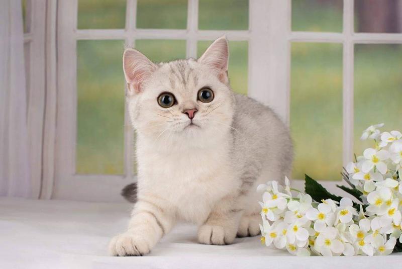 Изображение - Шотландский котенок «Color Richness»