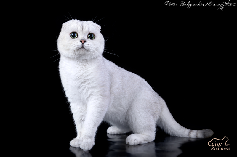 Шотландский котик - Color Richness
